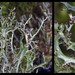 Cladonia multiformis - Photo (c) Richard Droker, algunos derechos reservados (CC BY-NC-ND)
