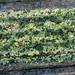 Trapeliaceae - Photo (c) Richard Droker, algunos derechos reservados (CC BY-NC-ND)