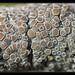 Lecanora chlarotera - Photo (c) Christophe Quintin, μερικά δικαιώματα διατηρούνται (CC BY-NC)