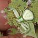 Misumenoides - Photo (c) Judy Gallagher, algunos derechos reservados (CC BY), uploaded by Judy Gallagher