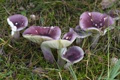 Russula sardonia - Photo (c) Chris Moody, algunos derechos reservados (CC BY-NC)