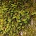 Dendroalsia abietina - Photo (c) Kirill Ignatyev, algunos derechos reservados (CC BY-NC)