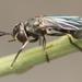 Physoconops sylvosus - Photo no rights reserved