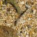 Bathygobius - Photo (c) Carla Kishinami, algunos derechos reservados (CC BY-NC-ND)
