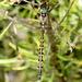 Hemicordulia - Photo (c) David Cook, algunos derechos reservados (CC BY-NC)