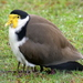 Masked Lapwing - Photo (c) sea-kangaroo, some rights reserved (CC BY-NC-ND)