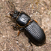 Horned Passalus Beetle - Photo (c) cyric, some rights reserved (CC BY-NC-SA), uploaded by cyric
