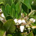Woollyleaf Manzanita - Photo (c) Stan Shebs, some rights reserved (CC BY-SA)