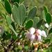 Arctostaphylos franciscana - Photo (c) Stan Shebs, algunos derechos reservados (CC BY-SA)
