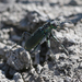 Great Basin Tiger Beetle - Photo (c) Will Richardson, some rights reserved (CC BY-NC)