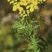 Tanacetum vulgare - Photo (c) Paul Reeves,  זכויות יוצרים חלקיות (CC BY-NC-SA)