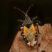 Apiomerus ochropterus - Photo (c) Sebastian Serna Muñoz, some rights reserved (CC BY)