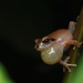 Waynad Bush Frog - Photo (c) harshithjv, some rights reserved (CC BY-NC)
