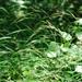 Brachypodium sylvaticum - Photo (c) Cheng-Tao Lin, algunos derechos reservados (CC BY)