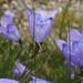 Campanula scabrella - Photo (c) Tom Hilton, algunos derechos reservados (CC BY)