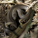 Earth Snakes - Photo (c) msicilia, some rights reserved (CC BY-NC), uploaded by Miguel Ángel Sicilia Manzo