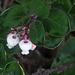 Arctostaphylos edmundsii - Photo (c) John Rusk, algunos derechos reservados (CC BY)