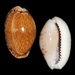 Atlantic Yellow Cowrie - Photo (c) Juan Manuel de Roux, some rights reserved (CC BY-NC)