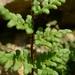 Oeosporangium pteridioides - Photo (c) Xavier Béjar, algunos derechos reservados (CC BY-NC-SA)