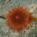 Edible Chilean Sea Urchin - Photo (c) alexandrium, some rights reserved (CC BY-NC)