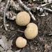 Hongos Bola de Tierra - Photo (c) katjustis, algunos derechos reservados (CC BY-NC)