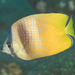 Blacklip Butterflyfish - Photo (c) Mark Rosenstein, some rights reserved (CC BY-NC-SA)