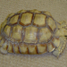 Centrochelys - Photo (c) Chuck Sexton, some rights reserved (CC BY-NC)