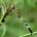 Orthetrum sabina - Photo (c) jeevan jose, algunos derechos reservados (CC BY-NC-SA)