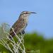 Matraca Yucateca - Photo (c) angel_castillo_birdingtours, algunos derechos reservados (CC BY-NC)