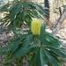 Banksia integrifolia compar - Photo (c) Emily Aarsvold, osa oikeuksista pidätetään (CC BY-NC)