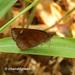 Astictopterus jama - Photo (c) Young Chan, algunos derechos reservados (CC BY-NC)