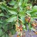 Ehretia tinifolia - Photo (c) elizatorres,  זכויות יוצרים חלקיות (CC BY-NC), uploaded by Elizabeth Torres Bahena