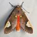 Bertholdia trigona - Photo (c) Christian Schwarz, alguns direitos reservados (CC BY-NC)