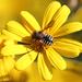 Anthidium chilense - Photo (c) orlandomontes, some rights reserved (CC BY-NC)
