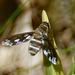 Exoprosopa fascipennis - Photo (c) psweet,  זכויות יוצרים חלקיות (CC BY-SA)