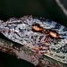 Lesser Chameleon - Photo (c) Bernard DUPONT, some rights reserved (CC BY-SA)