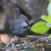 Magellanic Tapaculo - Photo (c) Josh Vandermeulen, some rights reserved (CC BY-NC-ND)
