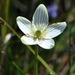 Fen Grass of Parnassus - Photo (c) aarongunnar, some rights reserved (CC BY)