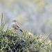 Pseudasthenes patagonica - Photo (c) Josh Vandermeulen,  זכויות יוצרים חלקיות (CC BY-NC-ND)