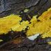 Mycoacia uda - Photo (c) Christian Schwarz, algunos derechos reservados (CC BY-NC)