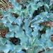 Agave gypsophila - Photo (c) Tony Rodd,  זכויות יוצרים חלקיות (CC BY-NC-SA)