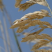 Uniola paniculata - Photo (c) Suzanne Dingwell, μερικά δικαιώματα διατηρούνται (CC BY-NC)