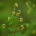 Fendler's Meadow-Rue - Photo (c) randomtruth, some rights reserved (CC BY-NC-SA)