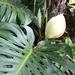 Piñas Anonas - Photo (c) sozzles, algunos derechos reservados (CC BY-NC)