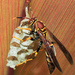 Canadensis/exclamans-group Paper Wasps - Photo (c) Cheryl Harleston López Espino, some rights reserved (CC BY-NC-ND)