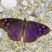 Mariposa de Alas Púrpura Oscura - Photo (c) Bill Bouton, algunos derechos reservados (CC BY-NC)