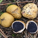 Common Earthball - Photo (c) Damon Tighe, some rights reserved (CC BY-NC)