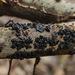 Exidia glandulosa - Photo (c) Tatiana Bulyonkova, algunos derechos reservados (CC BY-NC-SA)
