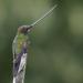 Colibrí Picoespada - Photo (c) Josh Vandermeulen, algunos derechos reservados (CC BY-NC-ND)