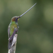 Sword-billed Hummingbird - Photo (c) Josh Vandermeulen, some rights reserved (CC BY-NC-ND)